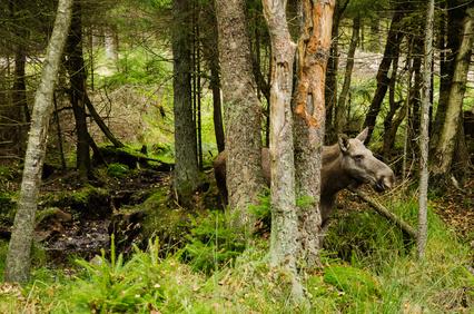 Elchkuh im Wald